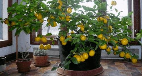 Så dit eget citrontræ