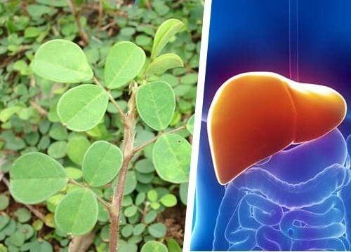 Denne plante kan regenere din lever