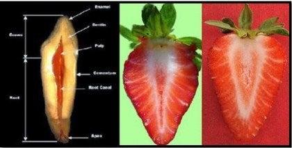 JordbærTænder