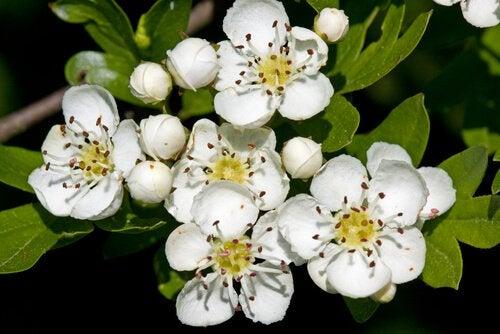 Hvide blomster, et af de mange midler mod migræne.