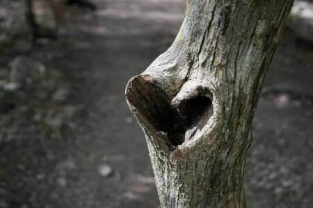 Trae der har et hjerteformet hul