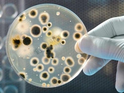 Petriskaal med bakterier
