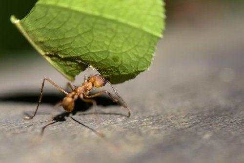 Myre der baerer et blad