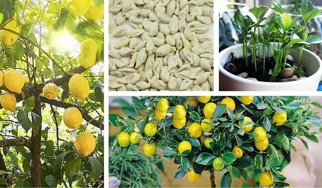 Sådan sår du kerner fra citroner derhjemme