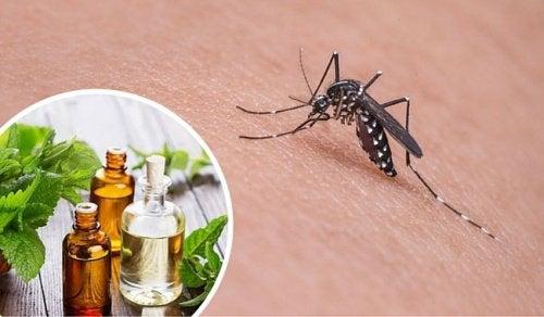 11 krydderurter, der er naturligt myggeafvisende