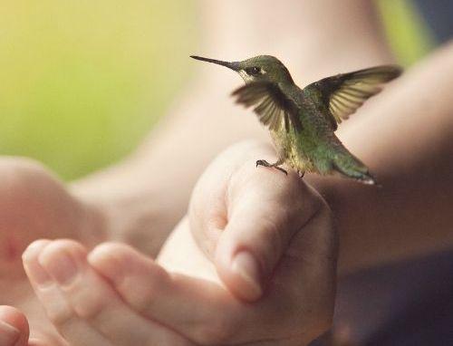 Kolibri der sidder paa et par haender