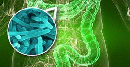 Denne bakterie findes i dine tarme