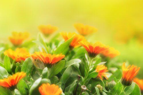 Morgenfruer i fuldt flor