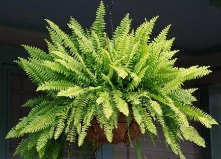 Stue plante