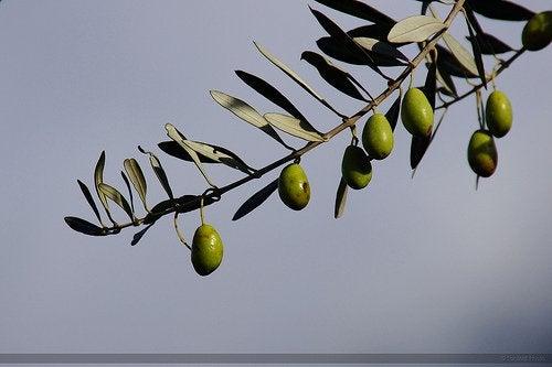 Oliventrae
