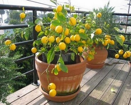 4 frugttræer du kan dyrke derhjemme