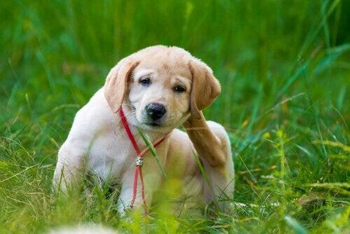 Hund med lopper