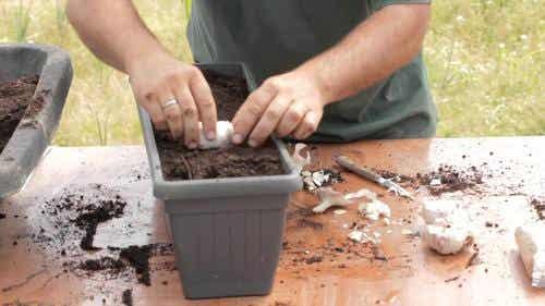 Sådan gror du dit eget hvidløg derhjemme