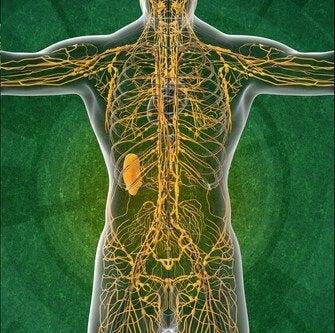 Lymfesystemet og fire interessante fakta, du bør vide