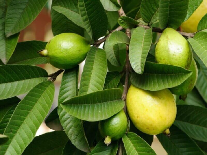 Guava blade