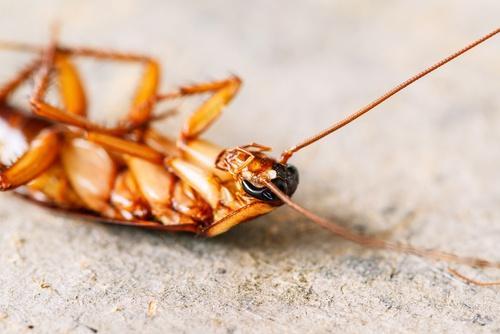 Doed kakerlak