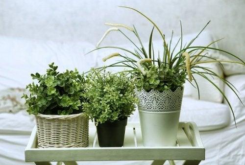 Krydderurter kan være gode planter at have stående. De er både dekorative, dufter godt og kan bruges i madlavning.