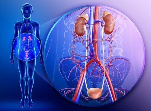 Nyrerne i kroppen