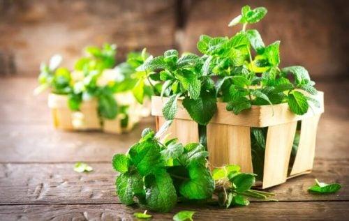 Mynte har ikke bare en fantastisk aroma. Det er også effektivt til at behandle halitose med.