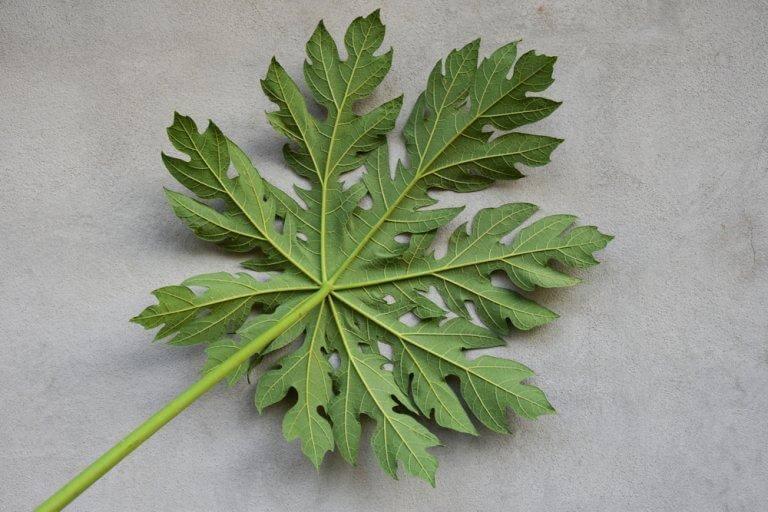 12 fordele ved papayablade