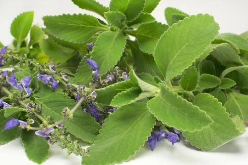Boldo, en fremragende te til at bekæmpe urinvejsinfektioner