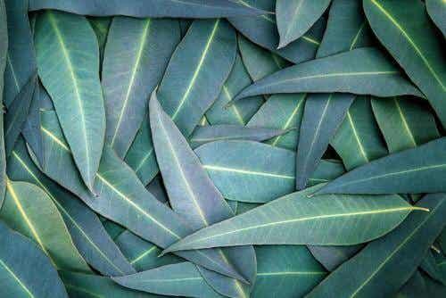 5 naturmidler med eukalyptus til at lindre åndedrætsproblemer