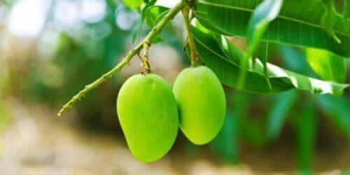 Bladene fra mangotræet har medicinske egenskaber der kan stabilisere blodsukkeret