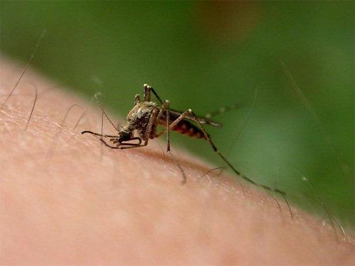 brug morgenfrue ved insektbid