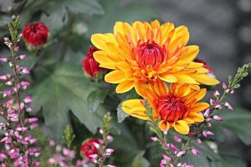 Krysantemum er en meget dekorativ plante