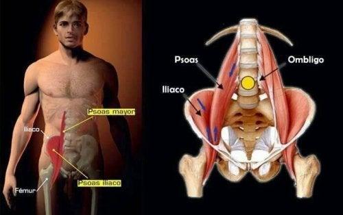 Psoas major er en vigtig muskel i kroppen