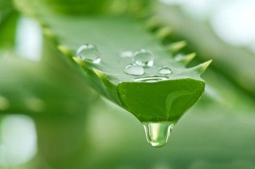 aloe vera kan indgå i proteinrige hårmasker