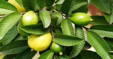 Guava har mange gode egenskaber