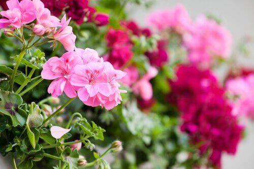 Pelargonier er en af de bedste blomster til altanen