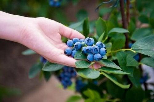 Sådan planter du blåbær derhjemme