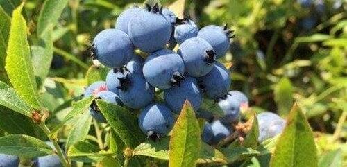 Plant dine egne blåbær i haven