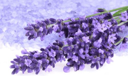 Lavendel til at hjælpe med at sænke blodtrykket