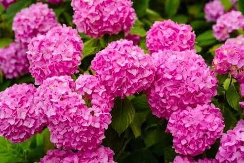 En af de farlige planter er hortensiaer