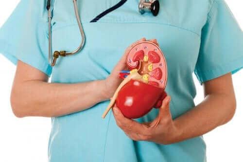 Læge holder model af nyrer