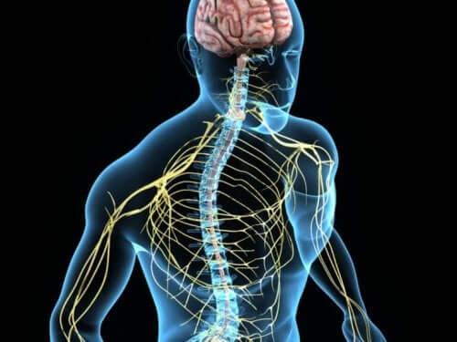 Både hjernen og nervesystemet har brug for cholin for at hjælpe med hukommelse, regulere humør og kontrollere muskler, blandt andet