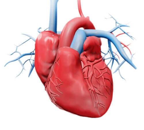 Det er et af de vigtigste organer i kroppen