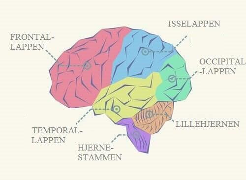 De forskellige hjernelapper og deres funktioner