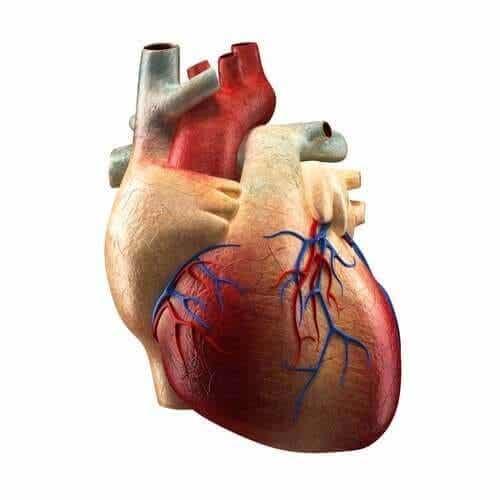 Hjertets dele og funktioner