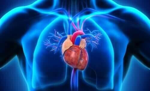 Illustration af hjertets dele