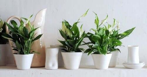 Indendørs planter i hvide krukker