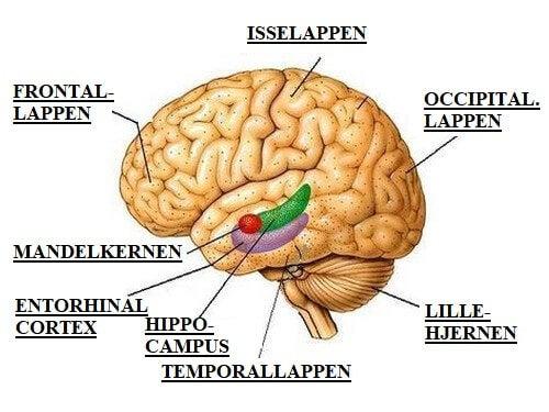 Tegning af hjerne viser forskellige hjernelapper
