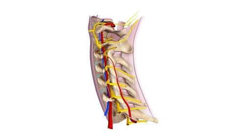 Lær alt om de vigtige cervikale spinalnerver