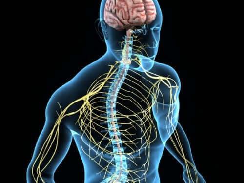 Menneskets nervesystem er en kompliceret størrelse