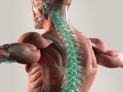 Illustration af nerver i rygraden