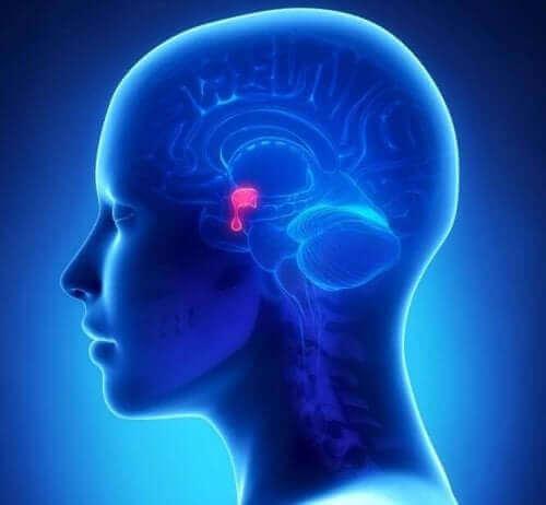 Hypofyseadenomer er unormal vækst af celler i hypofysen. De fastgøres til hypothalamus ved hjælp af en tråd af nerver og blodkar.'