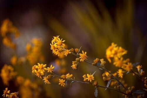 Den kraftige beroligende virkning af denne plante kan bruges til at reducere neuralgi